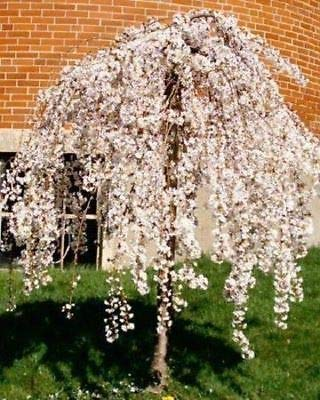 Dwarf Weeping Trees - Live 1 Potted Dwarf Fountain Weeping Cherry Trees Fresh Plant