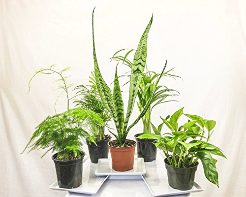 Collection of Five Fantastic Clean Air Plants for Your Home or Office - Beautiful - Florist Quality - Golden Pothos - Parlor Palm - Areca Palm - Asparagus Plumosus - Snake Plant by Florida Foliage
