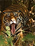 Bengal Tiger, Madhya Pradesh, Bandhavgarh, India by Joe & Mary Ann McDonald / Danita Delimont Double Sided Laminate, 15 x 20 inches