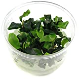 SubstrateSource Bucephalandra 'Wavy Green' Live Aquarium Plant - in Vitro Tissue Culture Cup