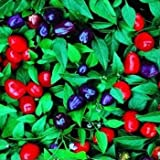 Outsidepride Capsicum Annuum Filius Ornamental Pepper Blue Plant Seed - 1000 seeds