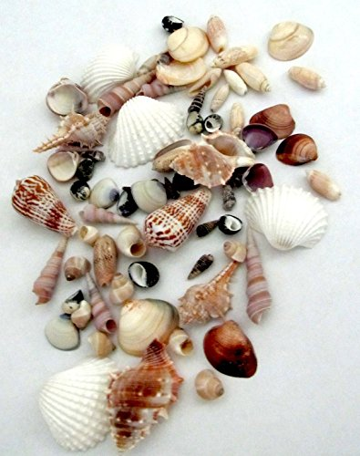 Gorgeous Natural Polished Seashells for Home, Parties, Decorations, Crafts by Forty Sycamore | Assorted Mixed Beach Shells Perfect for Nautical Decor | Approximately 50 Pcs per Bag ()