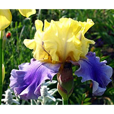 1 EDITH WOLFORD BEARDED IRIS Rhizome / Bulb / Root - ORDER for FALL PLANTING : Garden & Outdoor