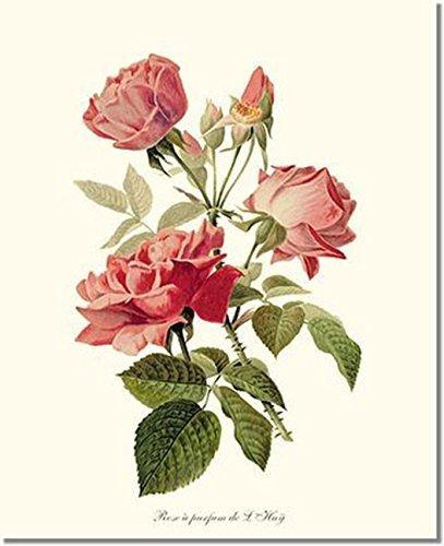 Amazon Com Pink Rose Print Vintage Botanical Art Perfume De L