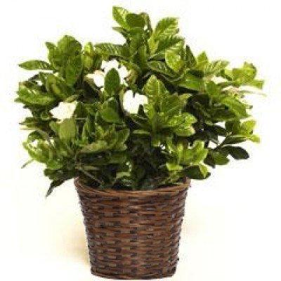 Large Fragrant Mothers Gardenia in Woven Basket- Fresh Fl...
