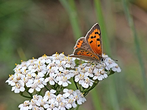 White Yarrow (Achillea millefolium) Seeds, The Bees Butterfly Magnet Flower (2 Pounds or 2.4 Million Seeds)