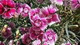 Showy Plant Dianthus Barbatus (Sweet William) Mixed Colors 500 Seeds