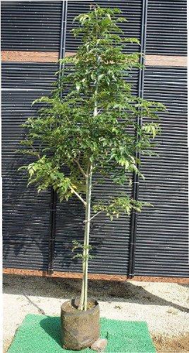 シマトネリコ 一本立ち! 樹高1.5m シンボルツリーや目隠しに最適生産者直売品! B00AQ7LN7G