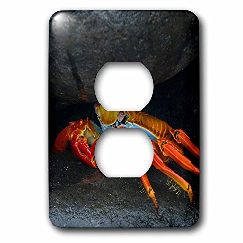 3dRose (LSP_228785_6 2 Plug Outlet Cover South America, Ecuador, Galapagos. Sally Lightfoot Crab Under Rock