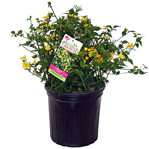 Kerria japonica 'Golden Guinea' (Japanese Kerria) Shrub, yellow flowers, #2 - Size Container by Green Promise Farms (Image #6)
