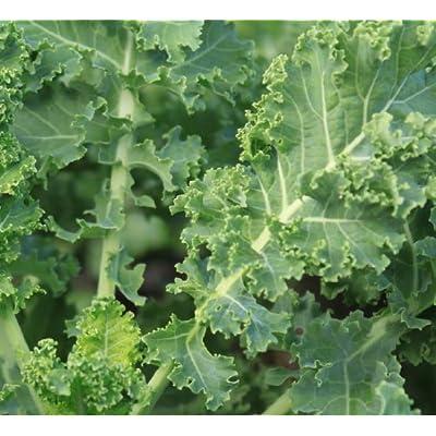 Earthcare Seeds Kale Siberian 500 Seeds, No GMO - Heirloom - Open Pollinated : Garden & Outdoor