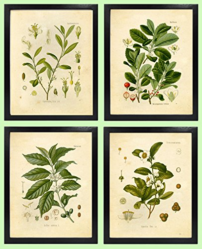 Ink Inc. Botanical Prints Vintage Wall Art - Stimulant Psychoactive Herbs - Set of 4 -Coffee, Tea, Coca, Mate - 8x10 Matte Unframed