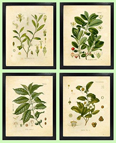 (Ink Inc. Botanical Prints Vintage Wall Art - Stimulant Psychoactive Herbs - Set of 4 -Coffee, Tea, Coca, Mate - 8x10 Matte Unframed)
