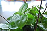 "Hoya Carnosa ""Chelsea"" Flowering Exotic Flowering Wax House Plant - Easy Care"