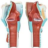 Axis Scientific Anatomy Model of Human Larynx
