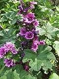 20 MAURITANIAN MALVA Mallow Malva sylvestris var. mauritania Flower Seeds