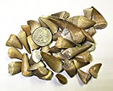 Mosasaurus Tooth Fossil in Display Box - Genuine