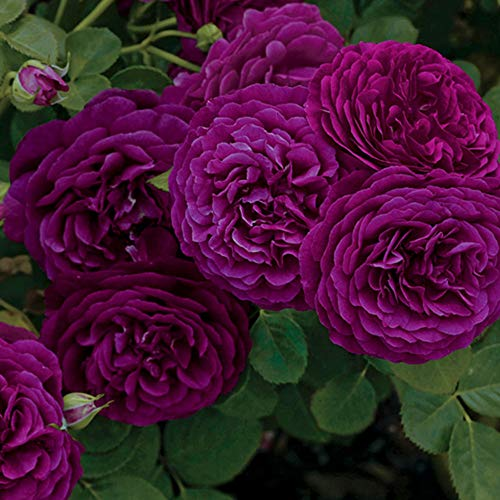 Own-Root One Gallon Twilight Zone Grandiflora Rose by Heirloom Roses by Heirloom Roses (Image #3)