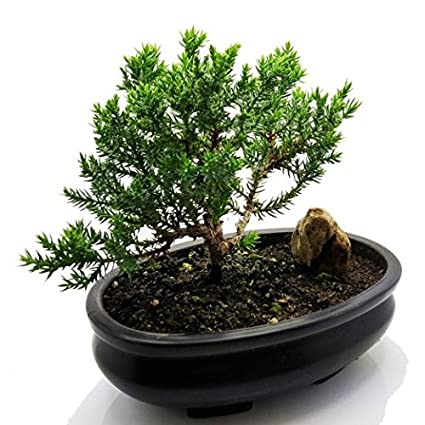 Review Higarden bonsai tree seeds