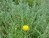 1 Starter Plant of Rosemary Santolina