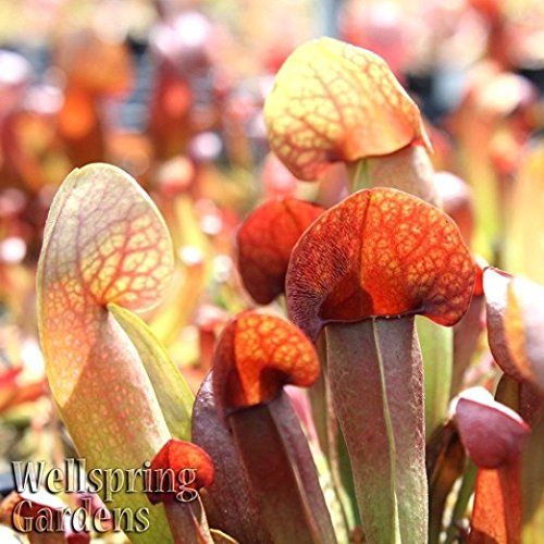 PLANT Sarracenia catesbaei S. × catesbaei Live Plant (Pitcher Plant Terrarium)