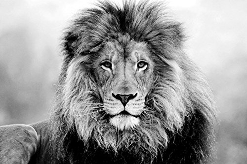 face eyes lion fur mane-Animal - Art Print On Canvas Rolled Wall Poster Print - Black and White 36