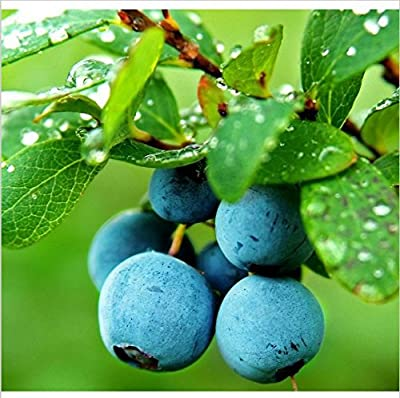 100pcsVegetables and fruit seeds BlueBerry seeds rabbit eyes Blueberries DIY Countyard Bonsai plants Seeds for home & garden 49%