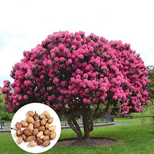 - Caiuet 10pcs/ Bag Sakura Seeds Cherry Blossom Seeds Sakura Blossom Seeds Giant Pink Shrubs Perennial Plants Flowers Seeds