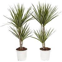 Plantas de interior de Botanicly – 2 × Árbol dragón – Altura: 75 cm, 2 brotes – Dracaena Marginata