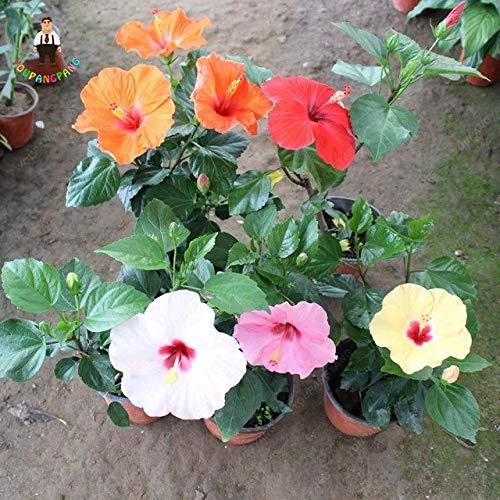 Coltivare Fiori.Pinkdose Diversi Tipi Di Fiori Di Ibisco In Stile Giapponese