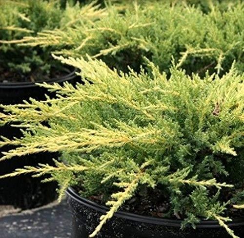 10 pcs Pasque bonsaï Fleurs (Anémone pulsatille Rouge) flowes