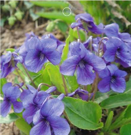 SD1500-0041 Rare Purple Flower Violet Seeds, Viola Yedoensis Flower Seeds, Non-Genetically Modified Seeds (50 Seeds)
