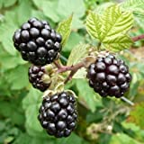 1 PCS Blackberry - 'Triple Crown' thornless - Rubus fruticosa