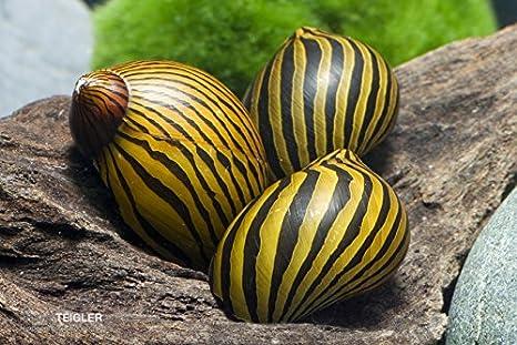 Caracoles – Zebra Caracol de carreras 10 unidades)