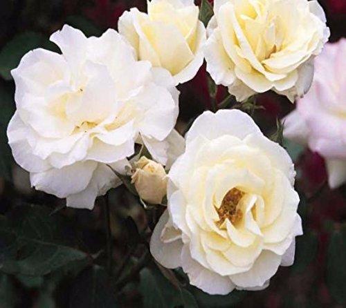 macys-pride-white-easy-elegance-rose-live-plant-4-jumpstarts-plug