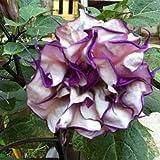 20 Purple Mandala Moonflower Datura Seeds Rare Exotic Fragrant Flower Plant
