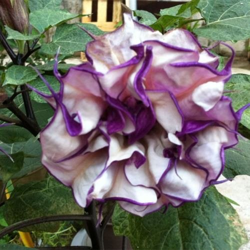 - 20 Purple Mandala Moonflower Datura Seeds Rare Exotic Fragrant Flower Plant