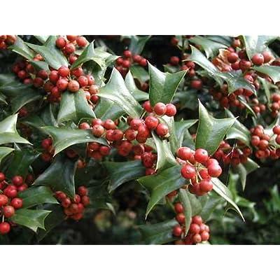 Chinese Holly, Ilex cornuta, Shrub Seeds (Showy Evergreen, Topiary, Hedge) (30) : Garden & Outdoor