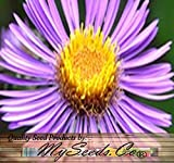 New England Aster Seeds - Symphyotrichum novae-angliae Seed - Pkt, BIG PACK Size