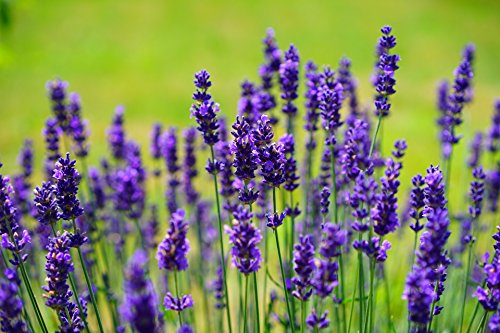 100 Lavender Vera Seeds - True Lavender, English Lavender, Lavandula Angustifolia