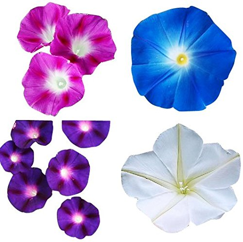 - Mix of Blue, Purple, White, Rose Morning Blooming Vine Seeds