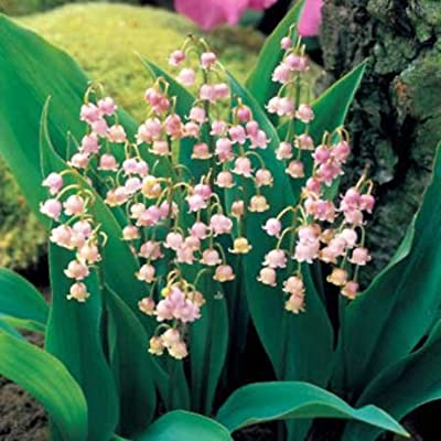 (Pink Lily *Ambizu*) Rare 'Feng Die' Pink Lily of the Valley Convallaria Majalis Perennial Flower Seeds, Professional Pack, 50 Seeds