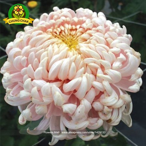 Chinese mum plant Chrysanthemum Seeds 200PCS Rare Perennial Flower Seeds Indoor Bonsai Plants For Home & Garden mixed color 9