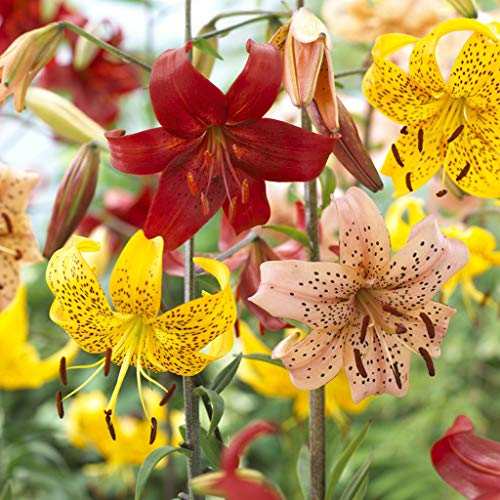 - Van Zyverden 83673 Tiger Lilies Value Blend Pack Set of 18 Bulbs Flowering-Plants, 14-16 cm, Mixed
