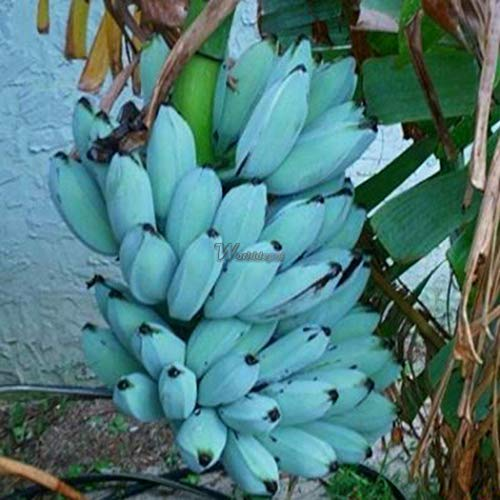 Go Garden 100Pcs/Bag: 100Pcs Rare Blue Skin Banana Seeds Dwarf Fruit Trees for Home and Garden Wt88 02
