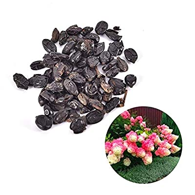 LOadSEcr's Garden 50Pcs Hydrangea Seeds Non-GMO Ornamental Plants Yard Office Decoration, Open Pollinated Seeds - Hydrangea Seeds : Garden & Outdoor