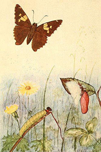 Butterflies Shown to the Children 1917 Silver-spotted Skipper Poster Print by Willey I Beecroft (24 x 36)
