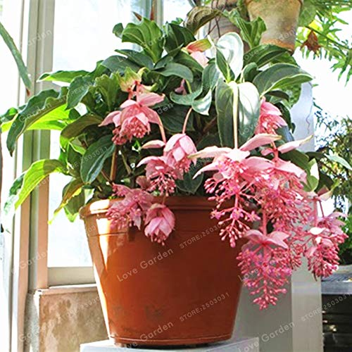 Pinkdose Medinilla Magnifica Plant Very Beautiful Bonsai Flower Plant For Home Garden Decoration Flower Plant 100 Pcs Buy Online In Aruba At Aruba Desertcart Com Productid 103586840