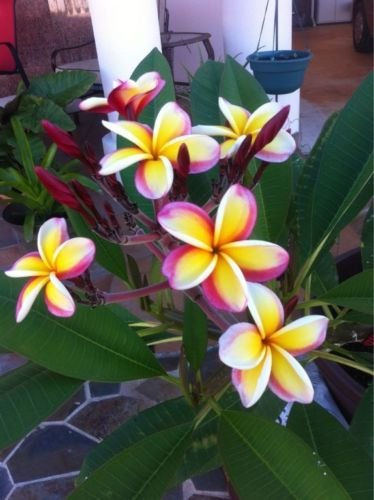 5 Rare Yellow White Purple Plumeria Seeds Plants Flower Lei Hawaiian Garden