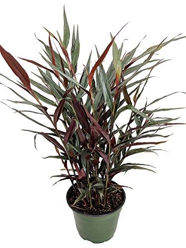 Red Bamboo Pot - 5